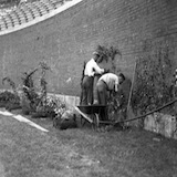 Planting the Wrigley Field ivy in 1937